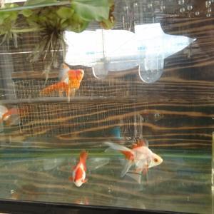 金魚水槽の後ろの金魚2