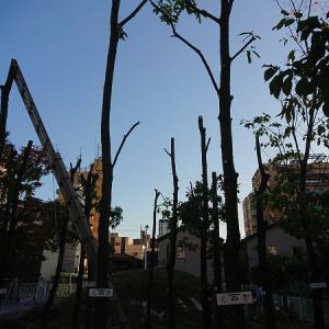 クヌギ林伐採