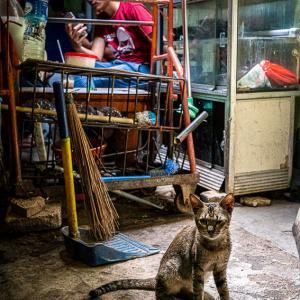 キッと見詰める猫 (インドネシア)