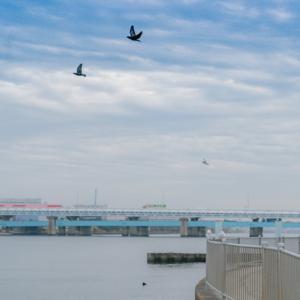鶴見川河口干潟にいたカモメ (神奈川)