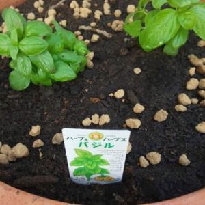 【バジルの育て方】はとっても簡単!収穫してバジルマーガリンを作るために今年も植えてみた