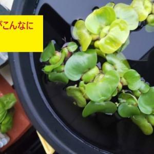 【ホテイアオイのちょっと変わった育て方】 鉢植えで育てる時の注意点について