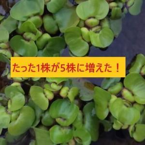 ホテイアオイの巨大化した根はそのままで良いの?「切る、切らない」 メダカに与える影響は