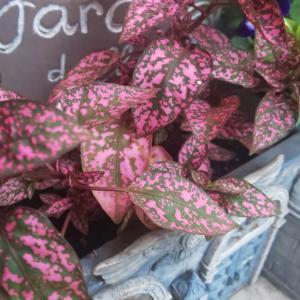 ホームセンターで買った観葉植物 葉っぱの色合い、模様が独特なヒポエステスの特徴と育て方
