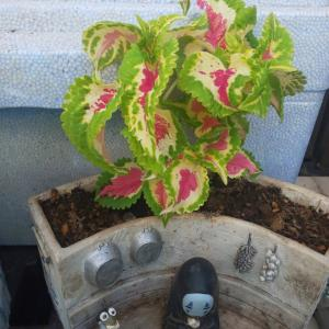 屋外の鉢植えで育てる観葉植物 【コリウス】 土や水やり・置き場所など詳しい育て方について
