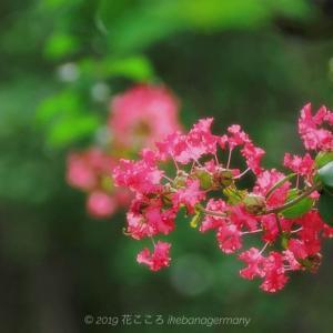 真夏にも負けない可憐な花を咲かせるサルスベリ(猿滑・百日紅)Lagerstroemia indica