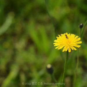 タンポポ似の黄色い花ブタナ(豚菜)Hypochaeris radicata