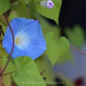 秋空に咲くソライロアサガオ(空色朝顔)Ipomoea tricolor