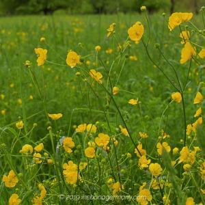 爽やかに揺れながら草原に咲くキンポウゲ科の一種 Ranunculus acris