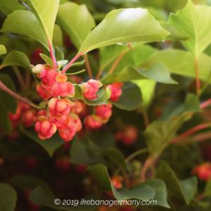 花名捜索中:壁つたい咲いていた赤い花?実?