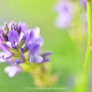 草原に咲く紫の可憐な花 ムラサキウマゴヤシ(紫馬肥やし)Medicago sativa