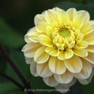 色とりどりなテンジクボタン(天竺牡丹)ダリア Dahlia