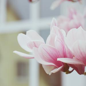 落ち着いた色合いのサラサモクレン(更紗木蓮)Magnolia × soulangeana