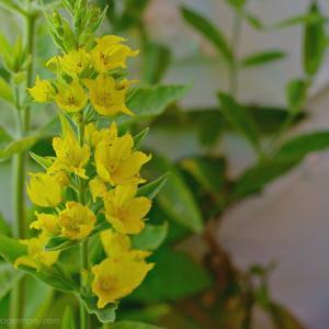 鮮やかな黄色のリシマキア・プンクタータ Lysimachia punctata