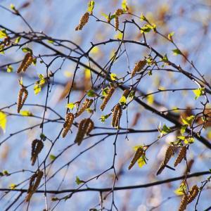 花粉症にご注意、オウシュウシラカンバ(欧州白樺)Betula pendula