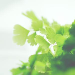 軽やかなグリーンのオアシス ホウライシダ(蓬莱羊歯)アジアンタム Adiantum capillus-veneris