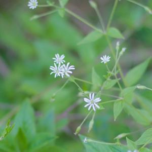 カラフトホソバハコベ(樺太細葉繁縷)森に咲く小さい花 Stellaria graminea