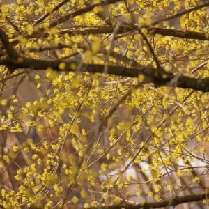 セイヨウサンシュユ(西洋山茱萸)鮮やかな黄色い花木 Cornus mas
