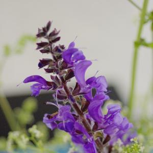 サルビア・ネモローサ Salvia nemorosa いけばな花材として使用