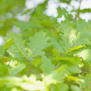 ヨーロッパナラ(欧州楢)Quercus robur  カシワ(柏)によく似た高木