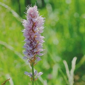 イブキトラノオ(伊吹虎の尾)と同じイブキトラノオ属 Bistorta officinalis 草原に咲くピンクのボトルブラシのような花
