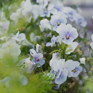 ビオラ? それともパンジー? Viola × wittrockiana