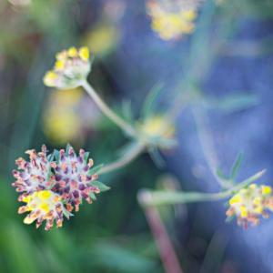 クマノアシツメクサ(熊の足爪草)Anthyllis vulneraria 薬草となる花