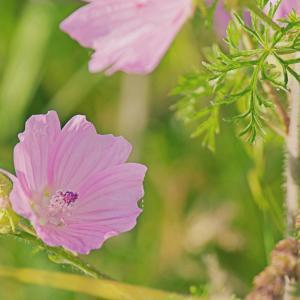 ジャコウアオイ(麝香葵)Malva moschata タチアオイ(立葵)より小ぶりな花