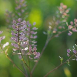 コバノコショウソウ(小葉の胡椒草)Lepidium ruderale 種の色が美しい