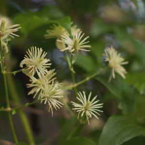クレマチス・ヴィタルバ Clematis vitalba ボタンヅルや仙人草の親戚