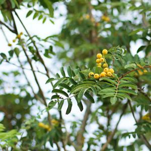 セイヨウナナカマド(西洋七竈・西洋七竃)Sorbus aucuparia オレンジの実が印象的な樹木