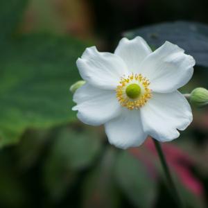 シュウメイギク(秋明菊)Anemone hupehensis var. japonica