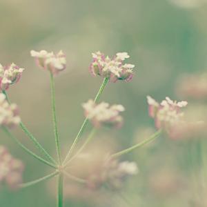 くっついたら離れない ヤブジラミ(藪虱)Torilis japonica