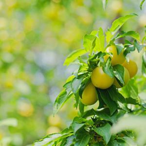 黄色いサクランボみたいな ミラベル Prunus domestica subsp. syriaca