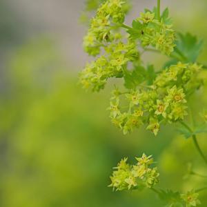 アルケミラモリス Alchemilla mollis セイヨウハゴロモグサ(西洋羽衣草)小さくて可愛い黄色い花
