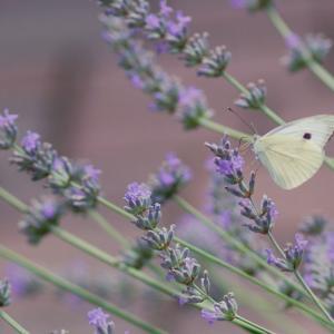 ラベンダー Lavandula 優しい紫色と香りが夏の暑さを癒してくれる