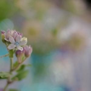 ルリトウワタ(瑠璃唐綿)Oxypetalum coeruleum 爽やかな水色の花びら