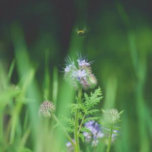 ハゼリソウ(葉芹草) Phacelia tanacetifolia ファセリア くるんとした花先が特徴的