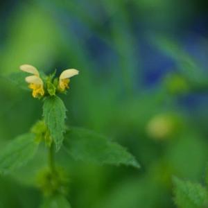 花冠がイタチに似ている黄色い花 Galeopsis segetum シソ科の花