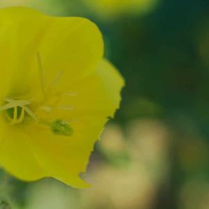 メマツヨイグサ(雌待宵草)Oenothera biennis 月見草や待宵草の仲間で夕方から咲く花