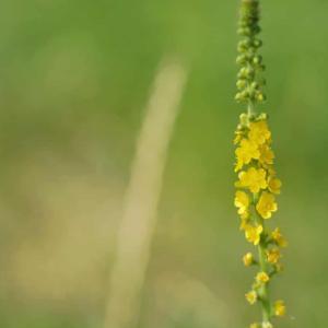 セイヨウキンミズヒキ(西洋金水引)Agrimonia eupatoria 細長くて繊細な黄色い花
