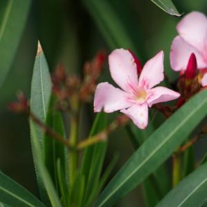 セイヨウキョウチクトウ(西洋夾竹桃)Nerium oleander 強力な生命力と毒を持ってるので鉢植えがオススメ