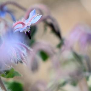 ルリジサ(瑠璃苣)Borago officinalis ボリジという名でも知られている
