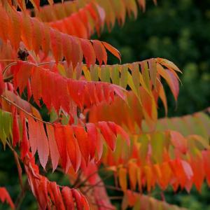アメリカハゼノキ(亜米利加櫨)Rhus hirta 夏はグリーン、秋はレッドを楽しめる木