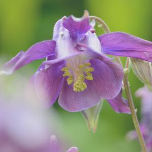 セイヨウオダマキ(西洋苧環)Aquilegia vulgaris うつむき加減に咲くお花