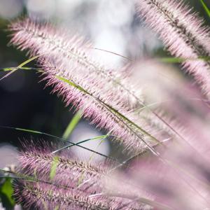 チカラシバ(力芝)Pennisetum alopecuroides 大きな猫じゃらし