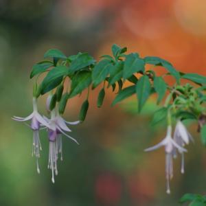 フクシア・ミクロフィラ Fuchsia microphylla 耳飾りにしたくなる花