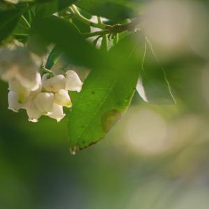 イチゴノキ(苺の木)Arbutus unedo 花も実も可愛い秋の花木