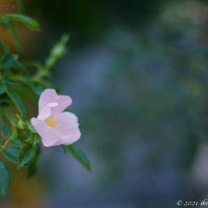 イヌバラ(犬薔薇)Rosa canina ヨーロッパ原産で薔薇の原種のひとつ