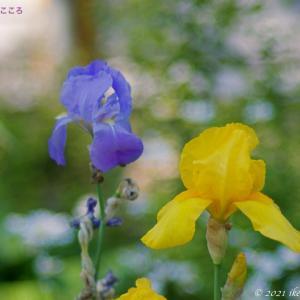 ドイツアヤメ(独逸菖蒲) Iris x germanica 別名ジャーマンアイリスの方が知名度あり?